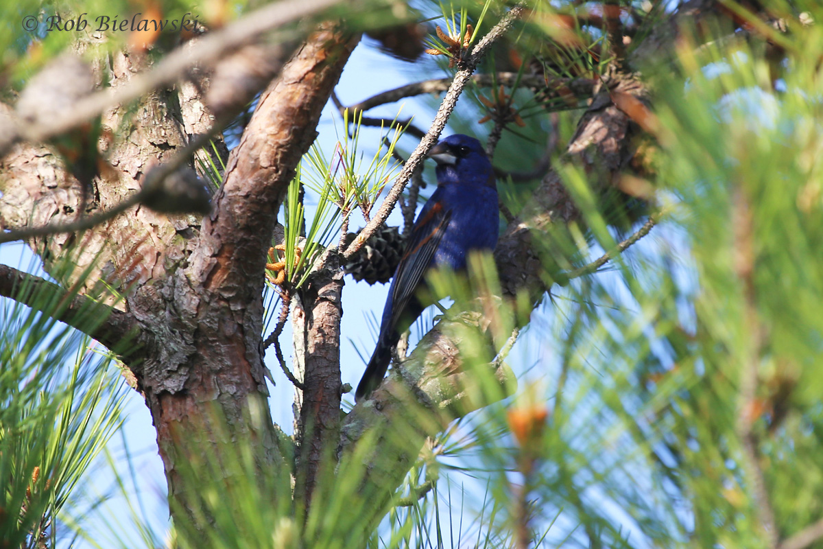 Slightly poor lighting on this one, but this gorgeous Blue Grosbeak was seen at Pleasure House Point on Sunday morning!