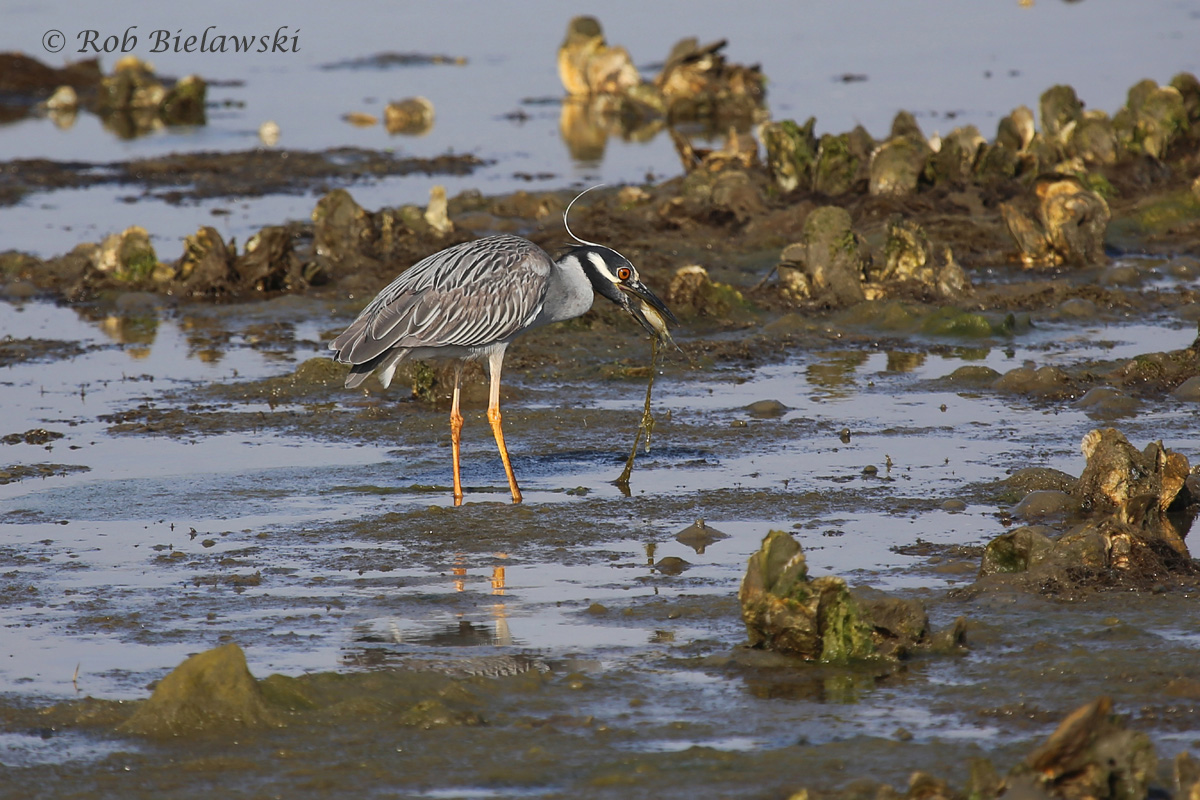 An adult Yellow-crowned Night-Heron picks through the oyster fields on the tidally exposed mudflats of Pleasure House Point.