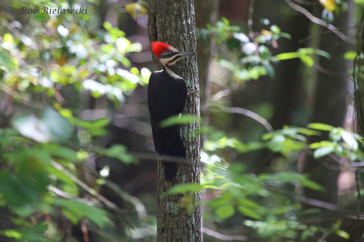 The most vocal of our Woodpeckers, this Pileated Woodpecker played nice for once and allowed me a couple of photographs before zipping off into the cover of the thick forests of First Landing State Park!
