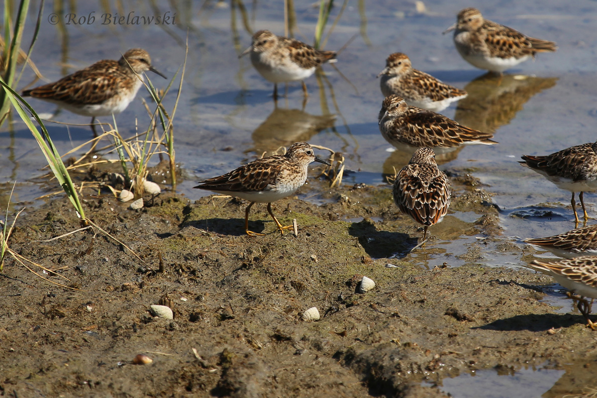 A group of Least Sandpipers (note yellow legs), walking the shorelines at Pleasure House Point on Wednesday evening!
