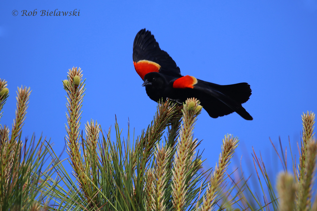 A Red-winged Blackbird poses beautifully atop a tree at Pleasure House Point, showing off it's namesake colorations!