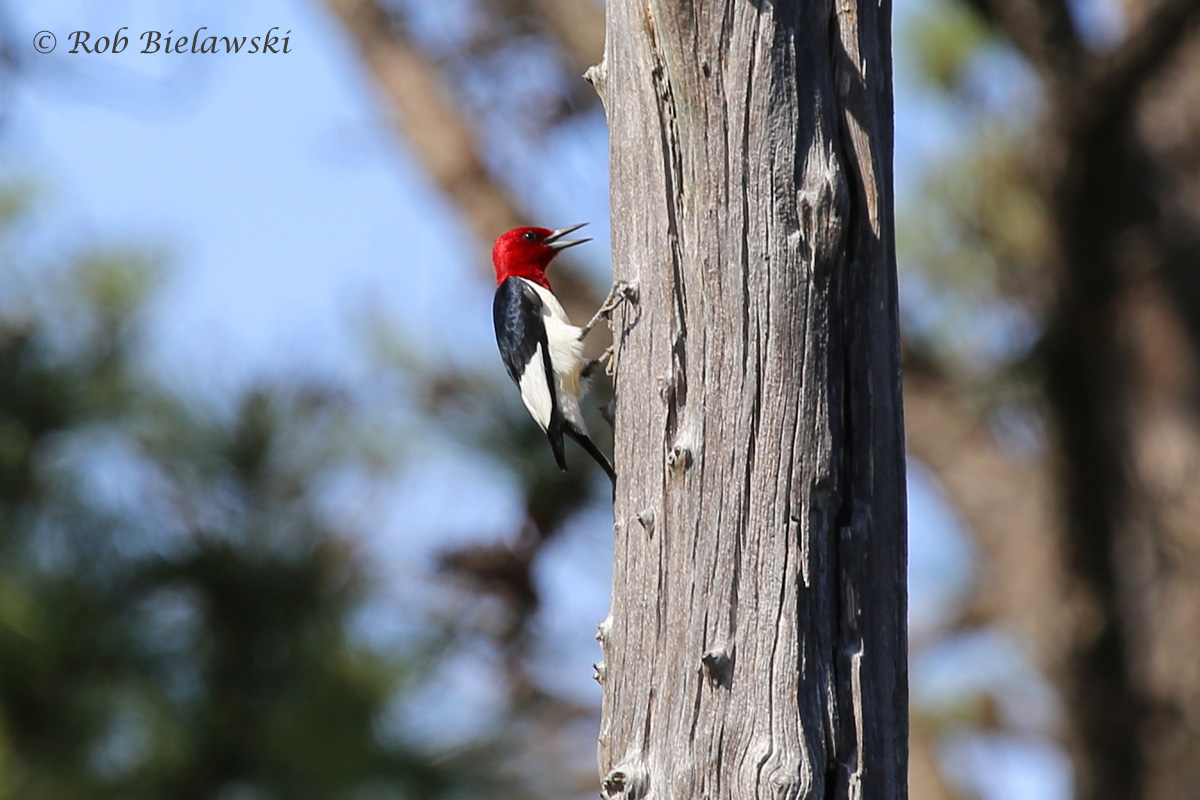 Another bird named after it's plumage, this Red-headed Woodpecker was seen at First Landing State Park on Friday evening!