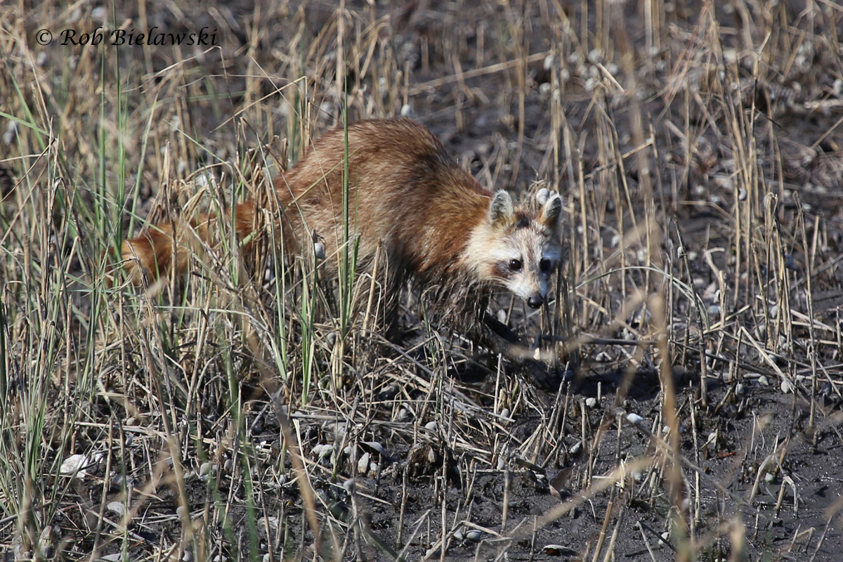 A young Raccoon, likely the same one seen last week with an adult in the same location, was seen at First Landing SP on Friday!