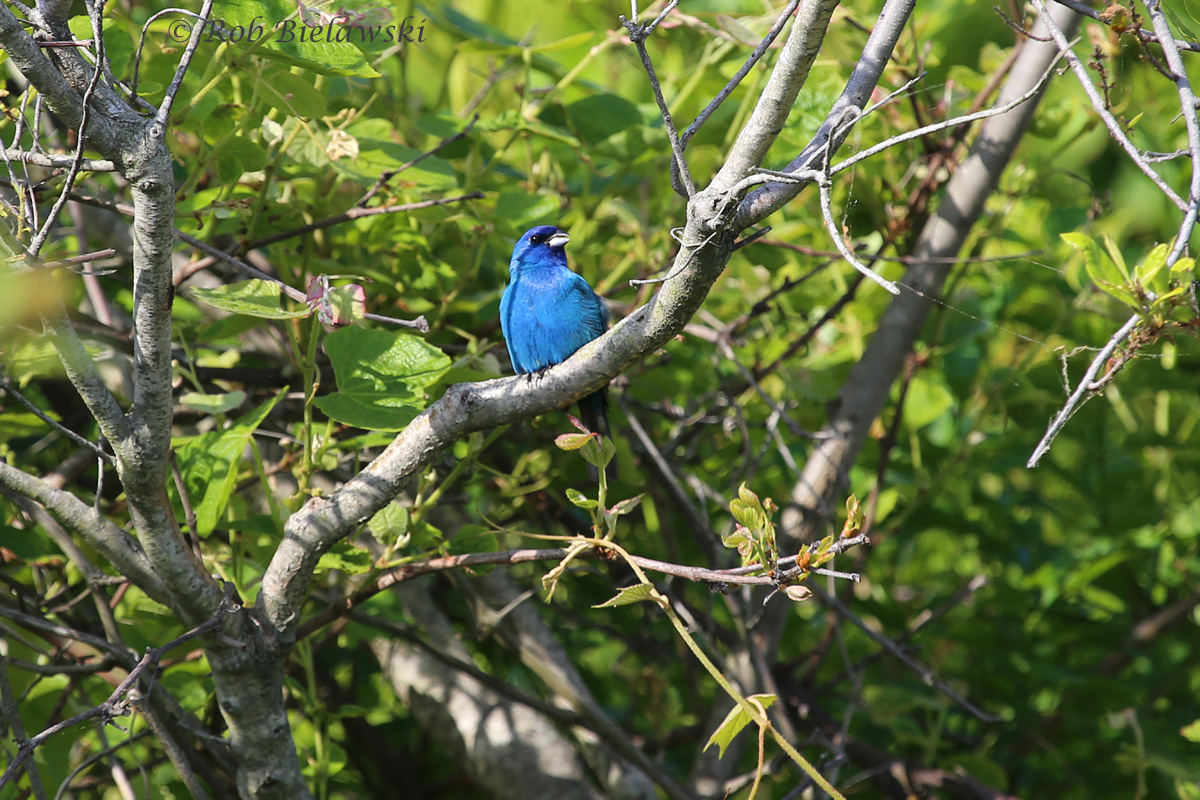Getting a bit closer to the shot I've been searching for, this Indigo Bunting gave me a great chance while posing for a few minutes on Sunday morning!