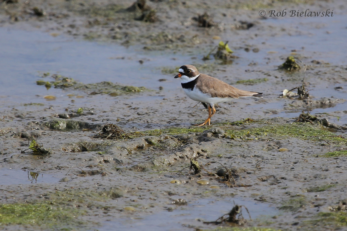 The very dapper Semipalmated Plover, seen here on the mudflats at Pleasure House Point!