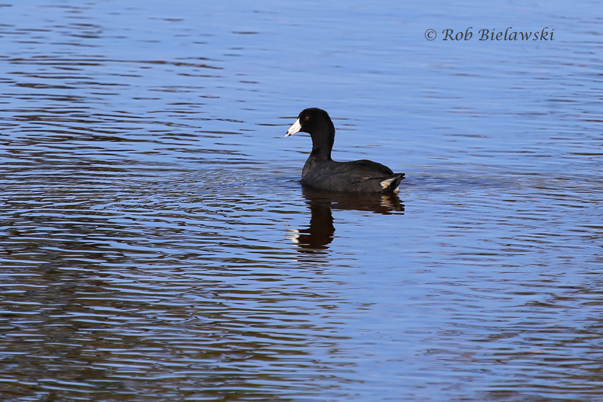 Another species that has stayed later than it typically does, this American Coot was seen near the maritime forest at Back Bay NWR on Friday evening!