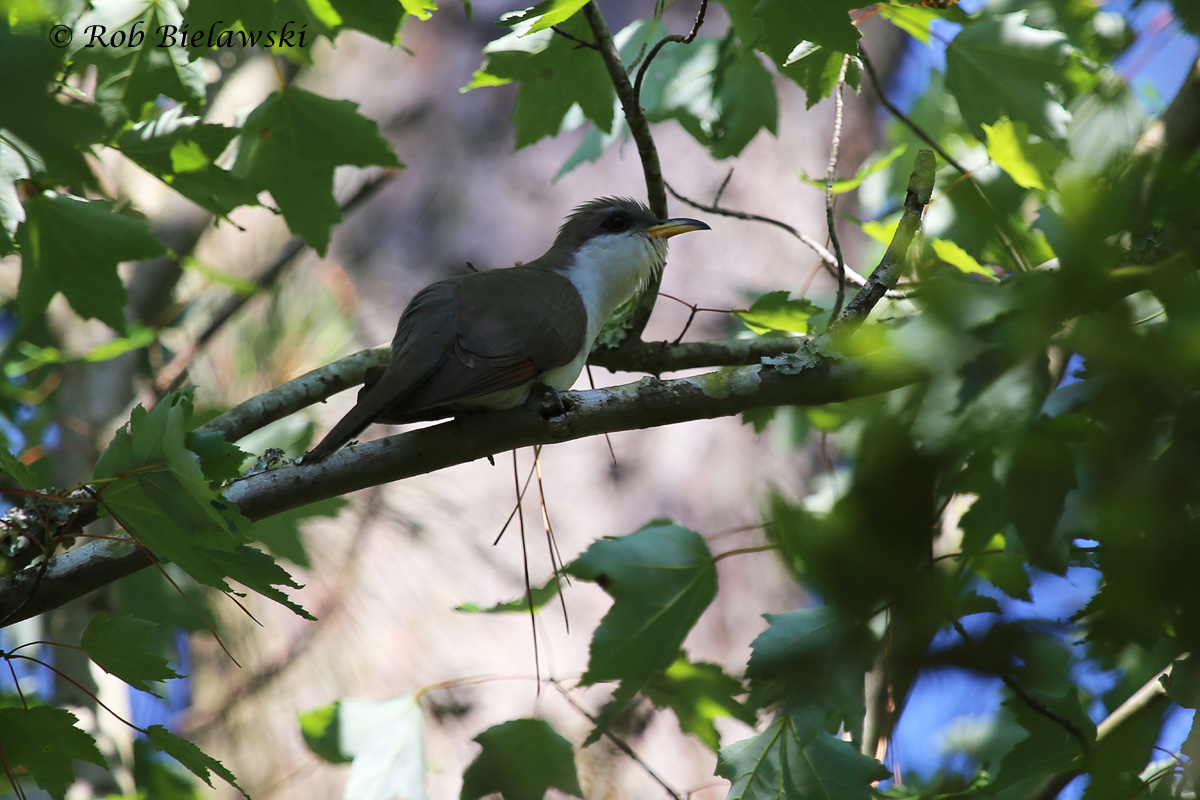 Another first-of-year (FOY) bird, this Yellow-billed Cuckoo was one of several sighted in the maritime forest of Back Bay NWR on Friday evening!