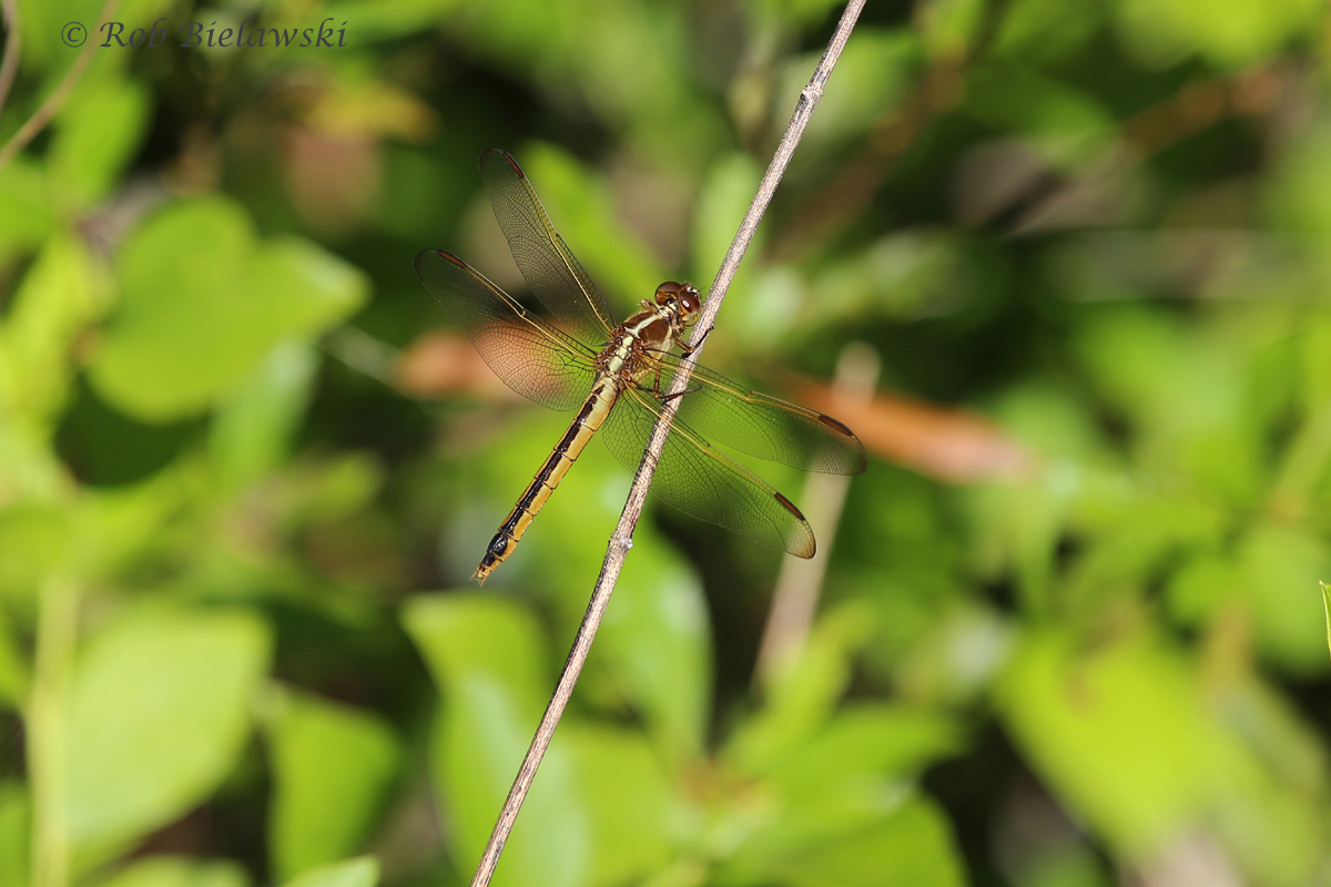 This is probably my first good shot of a dragonfly (Skimmer species) of 2015. With summer weather moving in quickly, the population of these will increase drastically as the birdwatching begins to slow down in June & July.