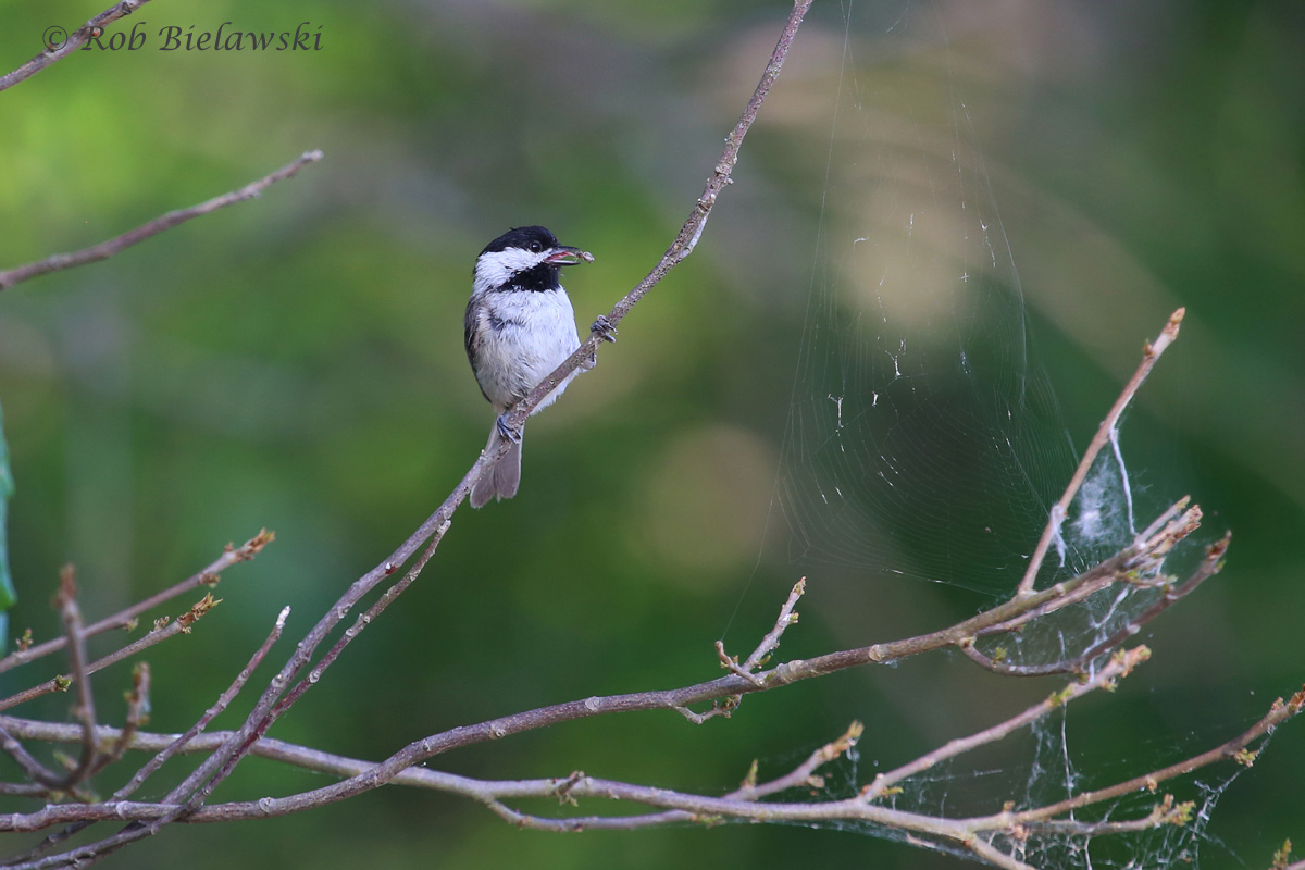 A genuinely unique moment for me here...my mother's favorite bird (Chickadee, though this is a Carolina, not the Black-capped that she really loves). This bird actually plucked the spider that wove the web at right, and devoured it!