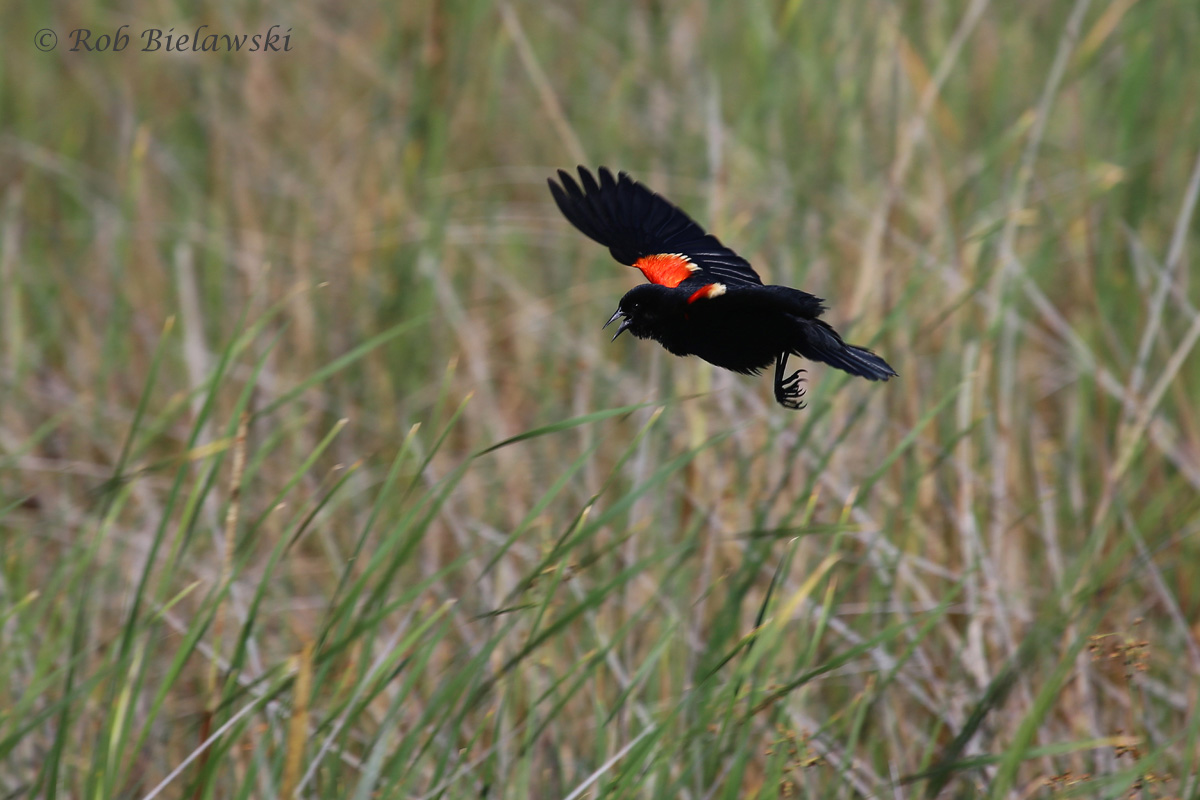 Red-winged Blackbird: Coming in for landing!