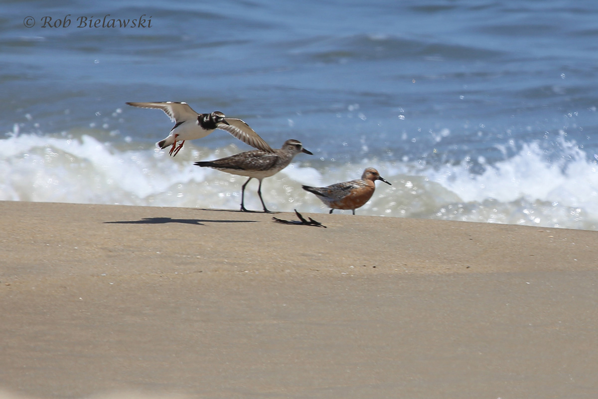 Shorebirds all lined up nicely... Ruddy Turnstone, Black-bellied Plover, and Red Knot!!