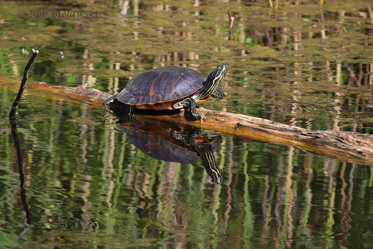Yellow-bellied Slider atop a log at Back Bay NWR!