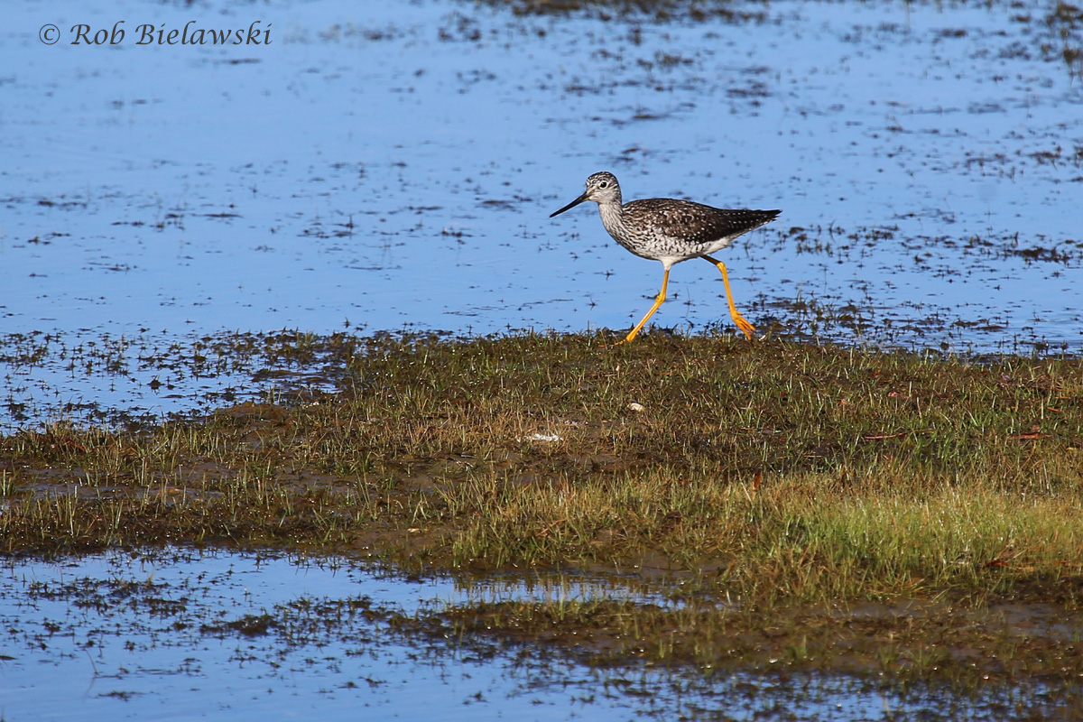 Our most common resident shorebirds here in Virginia Beach, a Greater Yellowlegs!