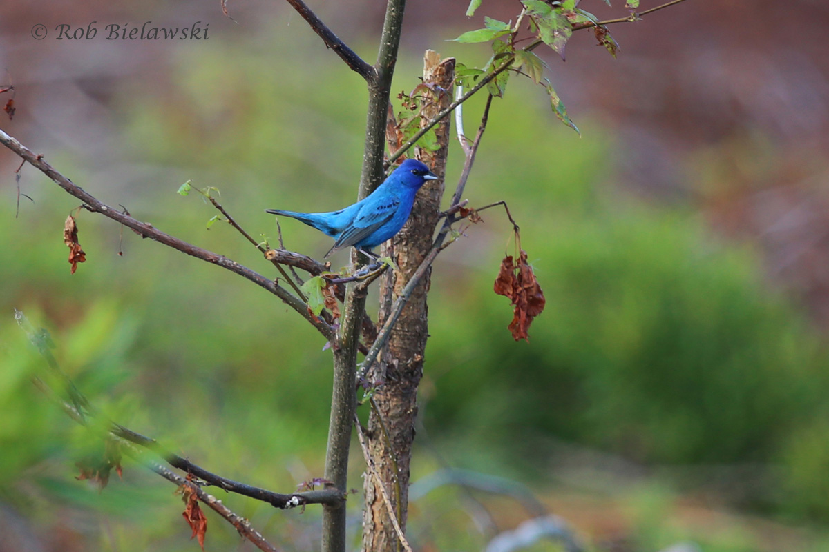 The brilliantly colored male Indigo Bunting, seen here at Princess Anne WMA!