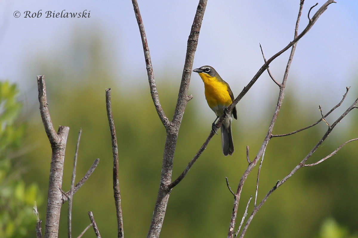 The 5th Yellow-breasted Chat I encountered during the month of May, after going the rest of my life without ever seeing a single one!