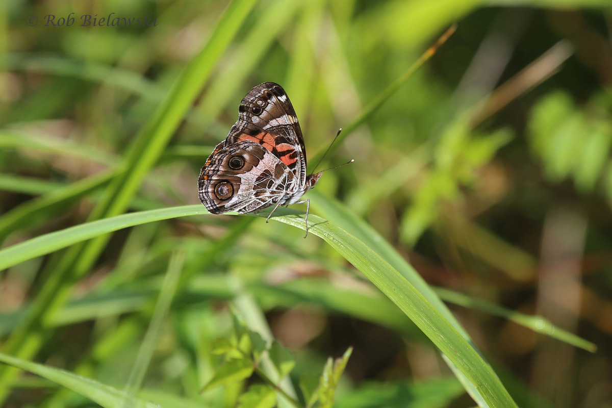 Either an American Lady or a Painted Lady (Butterfly) with wings folded closed, seen at Princess Anne WMA in Virginia Beach!