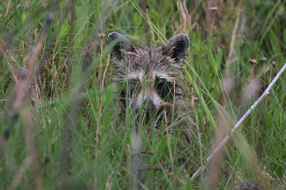 The 6th Raccoon I've encountered this year at First Landing State Park, and about the 12th overall on the year, way up from any other years out here!