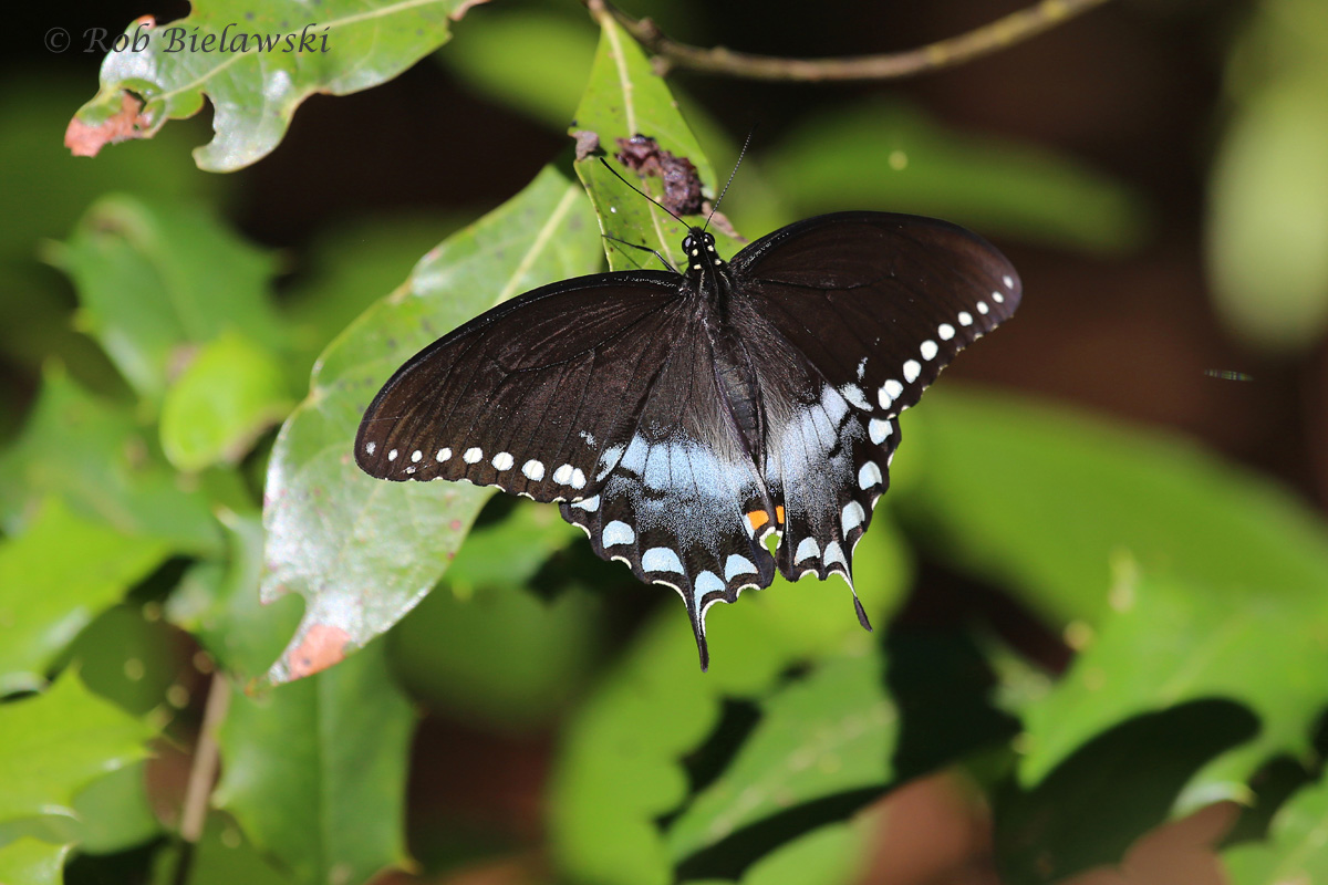 A Palamedes Swallowtail seen at First Landing State Park along the Long Creek Trail on Sunday morning!