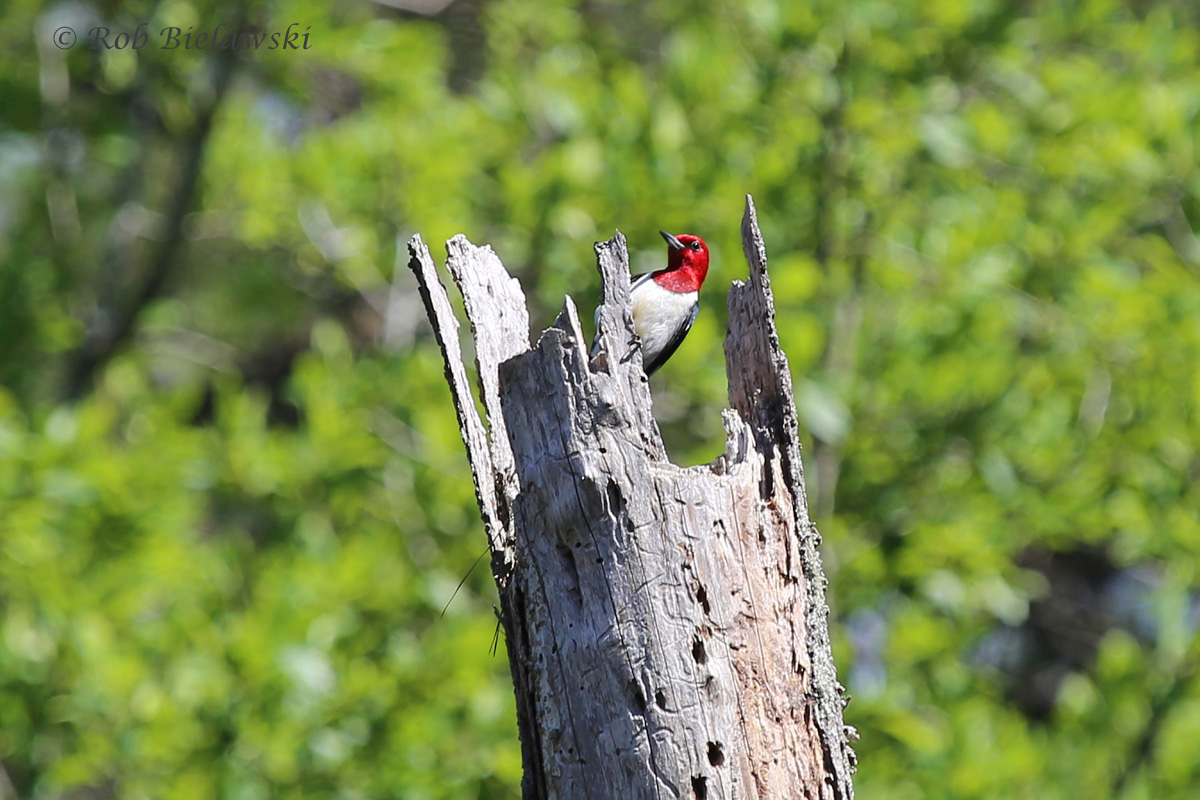 A Red-headed Woodpecker that was calling rather loudly from the forests at First Landing State Park!