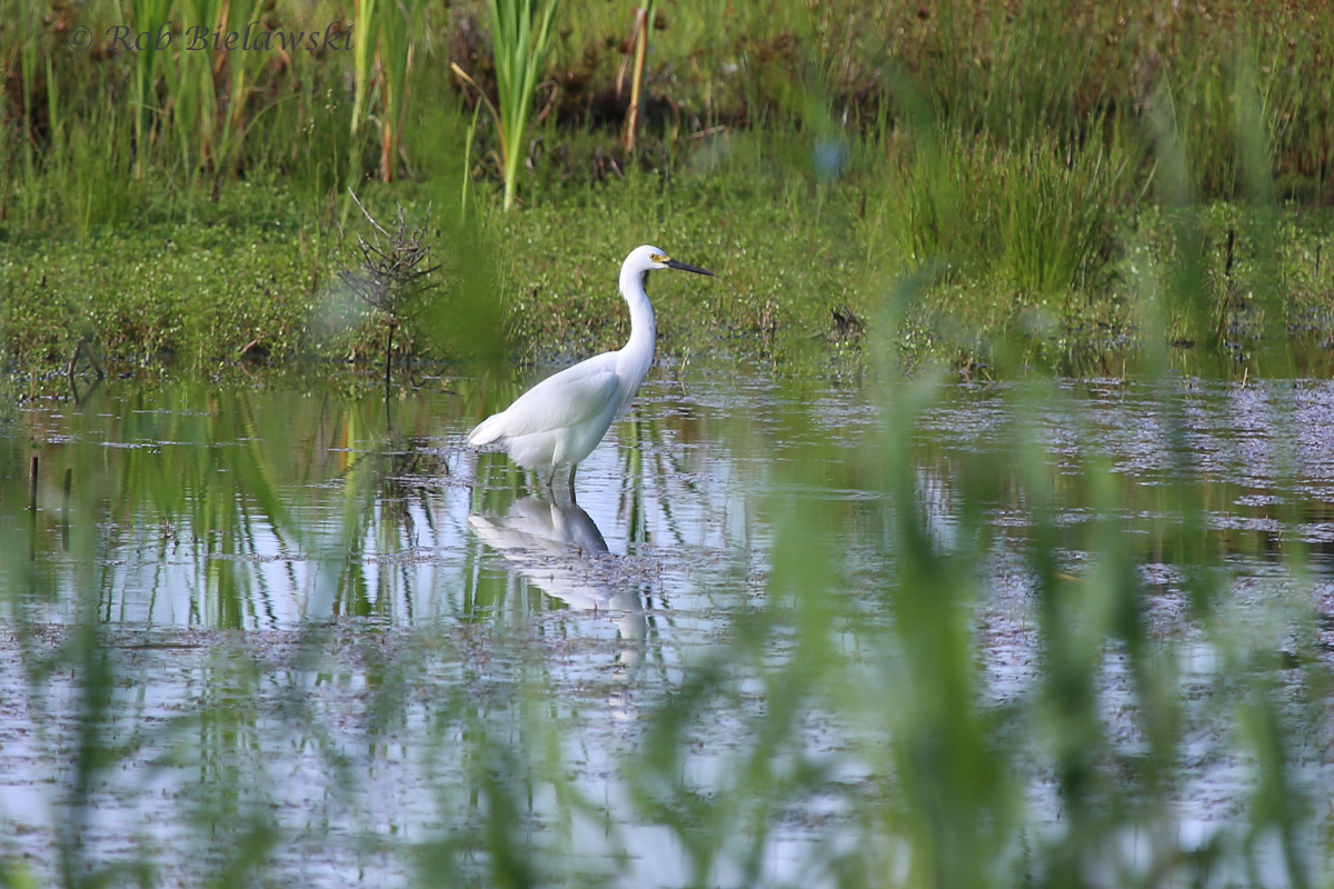 Snowy Egret - Breeding Adult - 30 May 2015 - Princess Anne Wildlife Management Area (Whitehurst Tract), Virginia Beach, VA