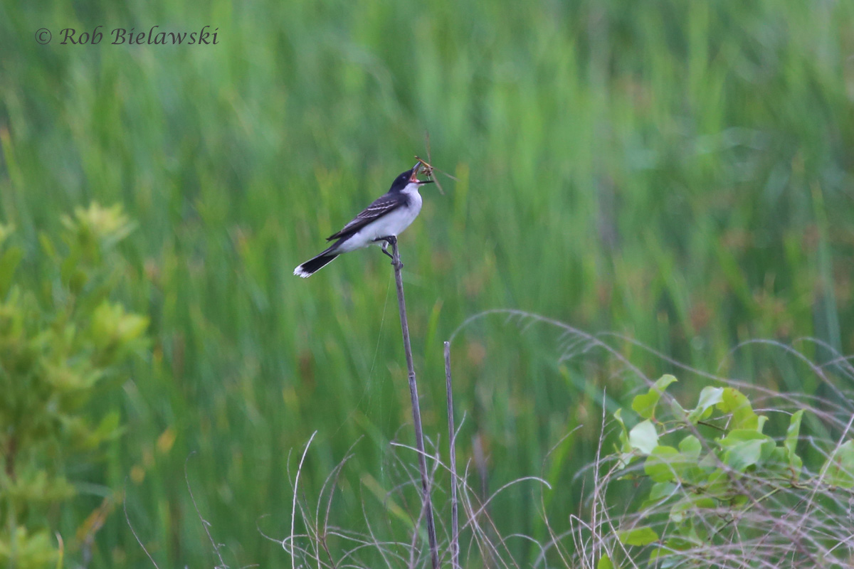 An Eastern Kingbird feasts on what appears to be a Needham's Skimmer (dragonfly)!