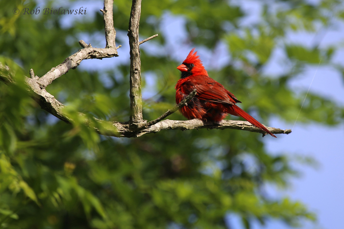A Northern Cardinal poses on a branch at Eastern Shore of Virginia NWR on Saturday morning!