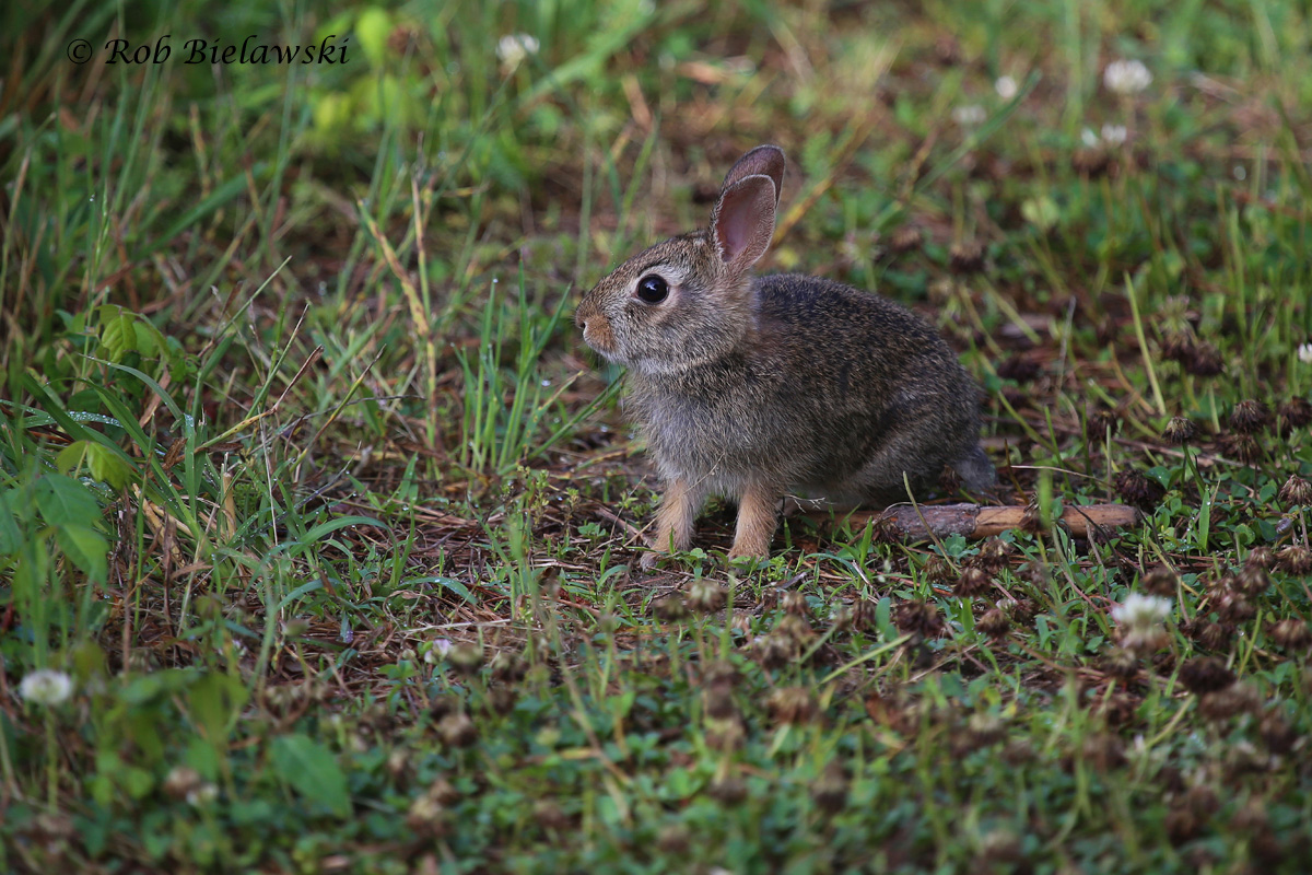 One of many Eastern Cottontails seen on Saturday morning, this one looks to be a youngster!