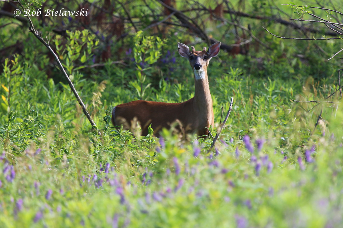 Another White-tailed Deer, this time a young buck showing the start of its antler growth up at Eastern Shore of Virginia NWR!