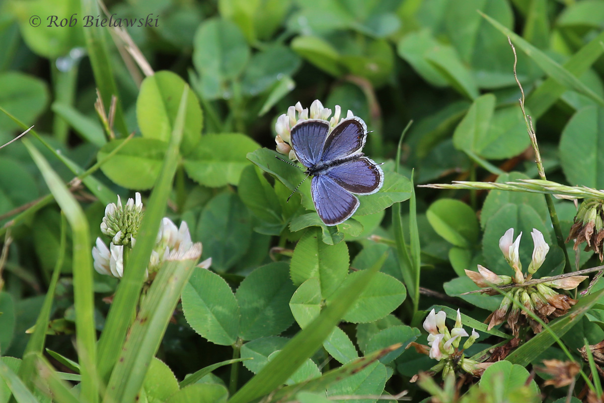 A beautiful Eastern Tailed-Blue sitting on a piece of clover, showing just how small, yet colorful this butterflies are!