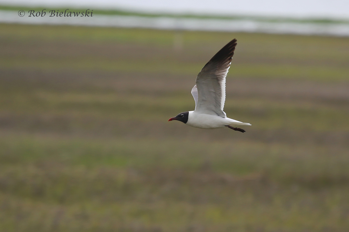 Laughing Gull flying past at Magothy Bay Natural Area Preserve on Saturday!