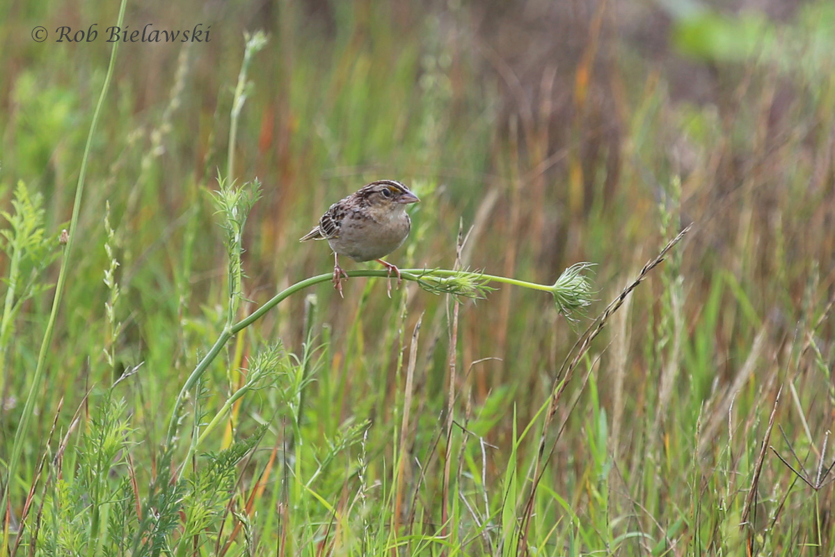A new one for my life list! This is a Grasshopper Sparrow, sighted on the same field as the Horned Lark above!