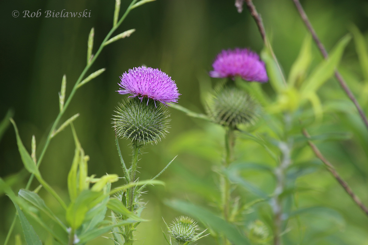 Very colorful Thistle blooms at Kiptopeke State Park!