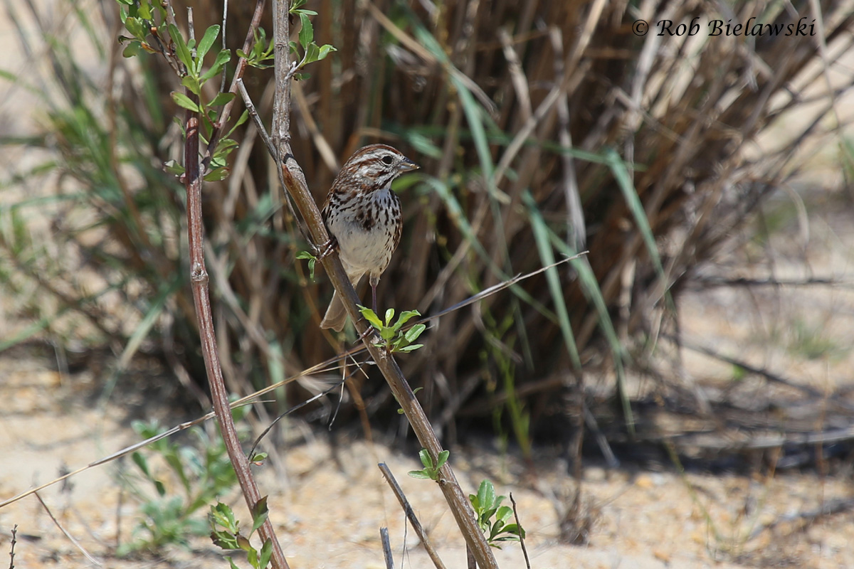 Song Sparrows are the dominant sparrows now at Pleasure House Point Natural Area for the summer season!
