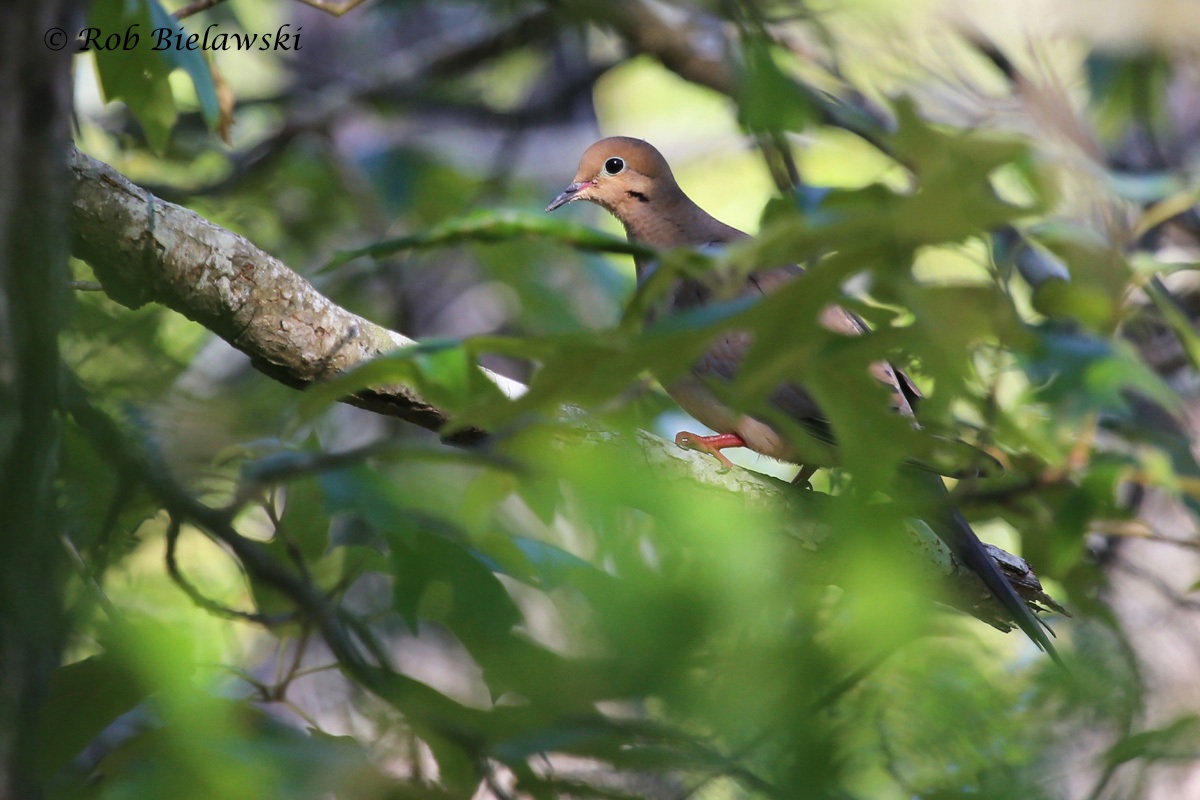 One of several Mourning Doves spotted at First Landing State Park on Sunday morning!