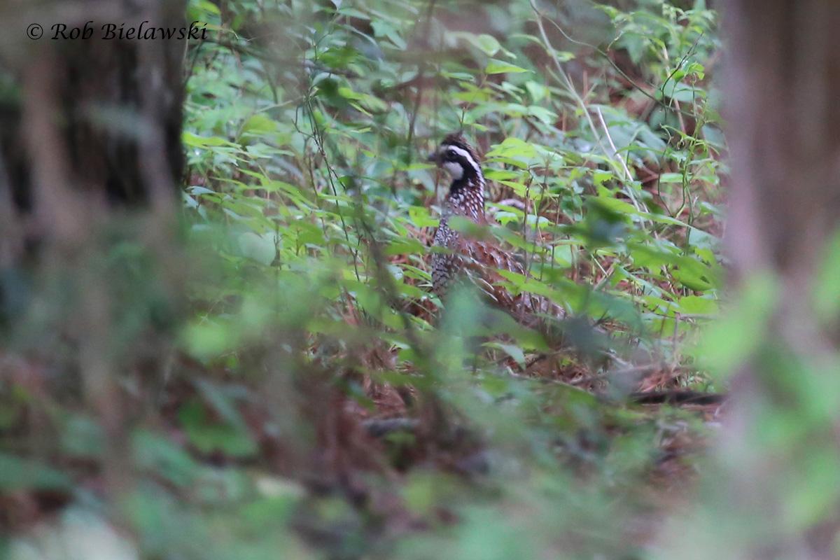 Northern Bobwhite - Adult Male - 6 Jun 2015 - Magothy Bay Natural Area Preserve, Northampton County, VA
