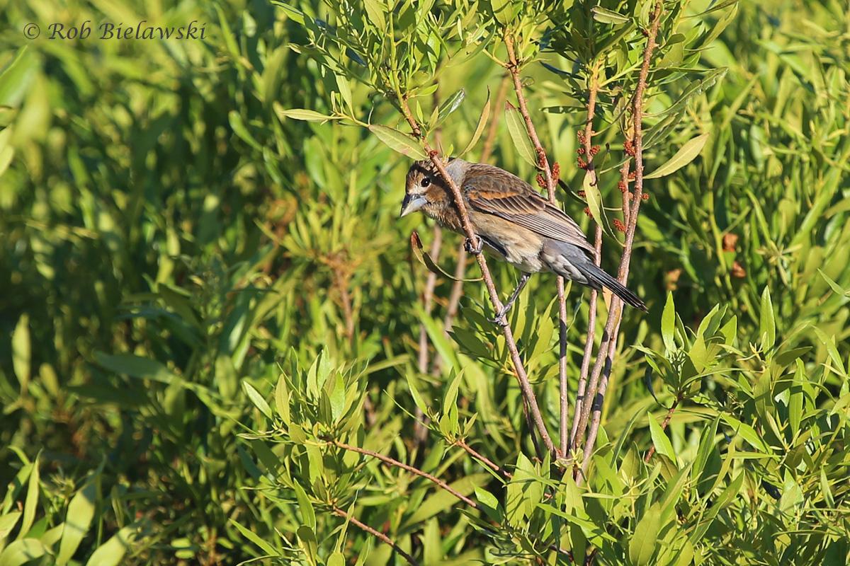Blue Grosbeak - First Summer Male - 22 May 2015 - Back Bay National Wildlife Refuge, Virginia Beach, VA