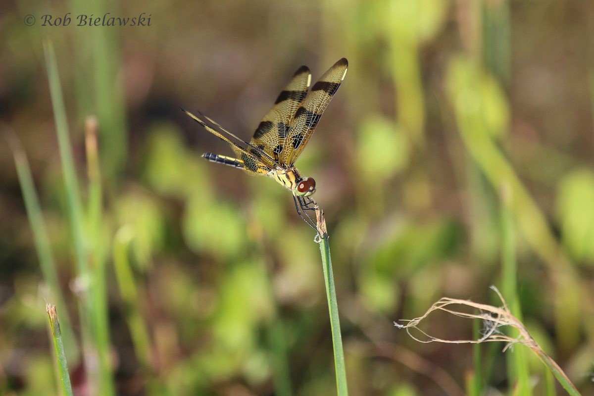 Named for the manner in which it rests atop the top of bullrushes and other marsh grasses, this female Halloween Pennant was sighted at Back Bay NWR!