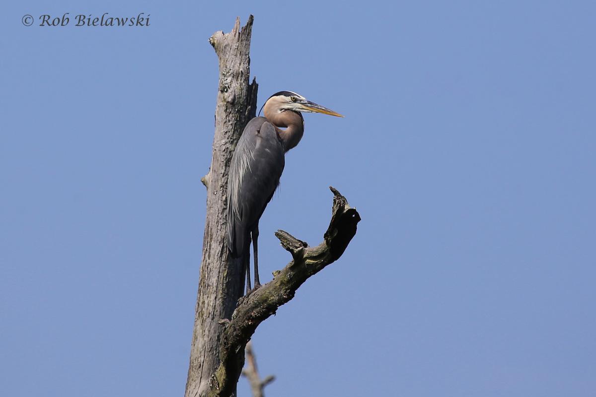 Great Blue Heron - Adult - 14 June 2015 - First Landing State Park, Virginia Beach, VA