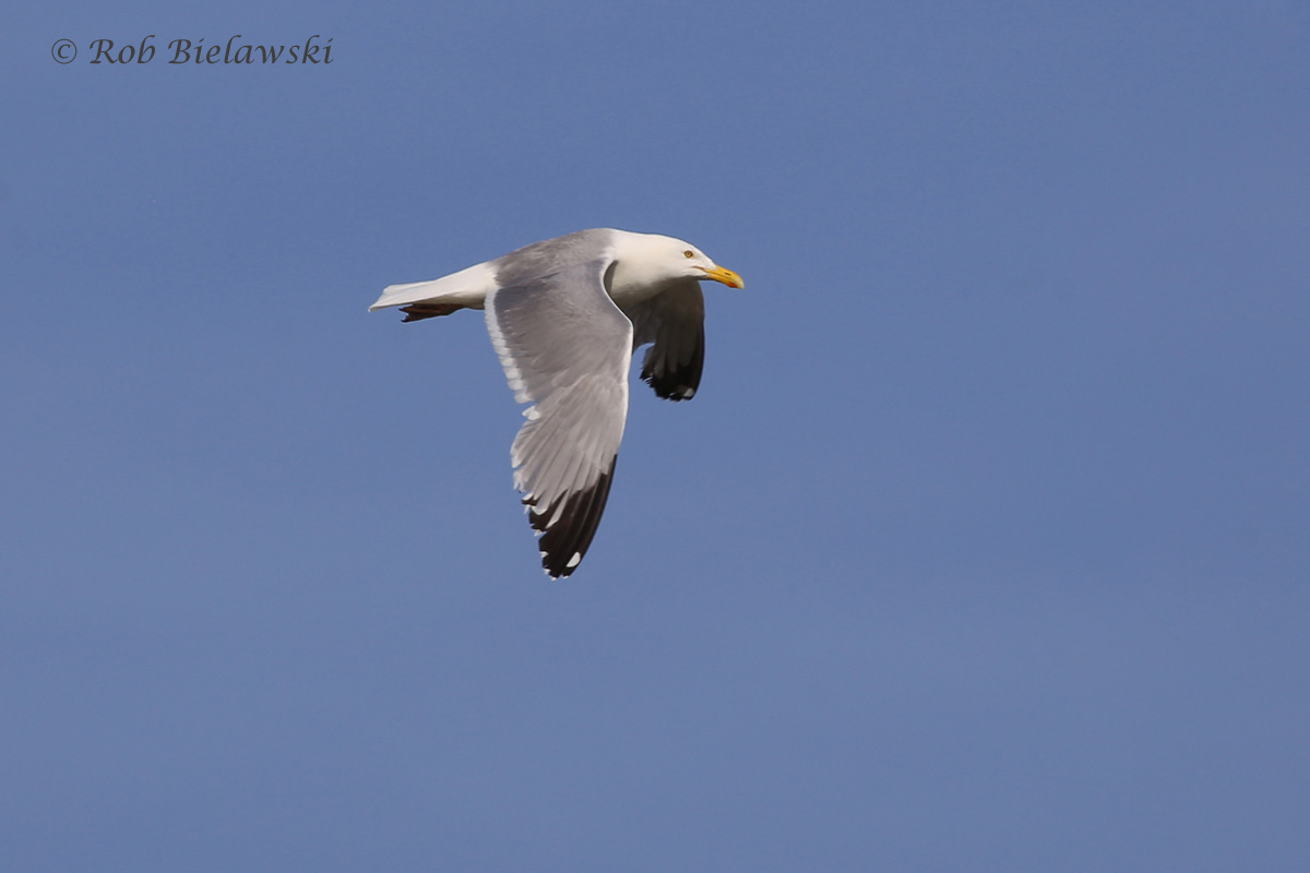Herring Gull - Breeding Adult in Flight - 19 May 2015 - Pleasure House Point NA, Virginia Beach, VA