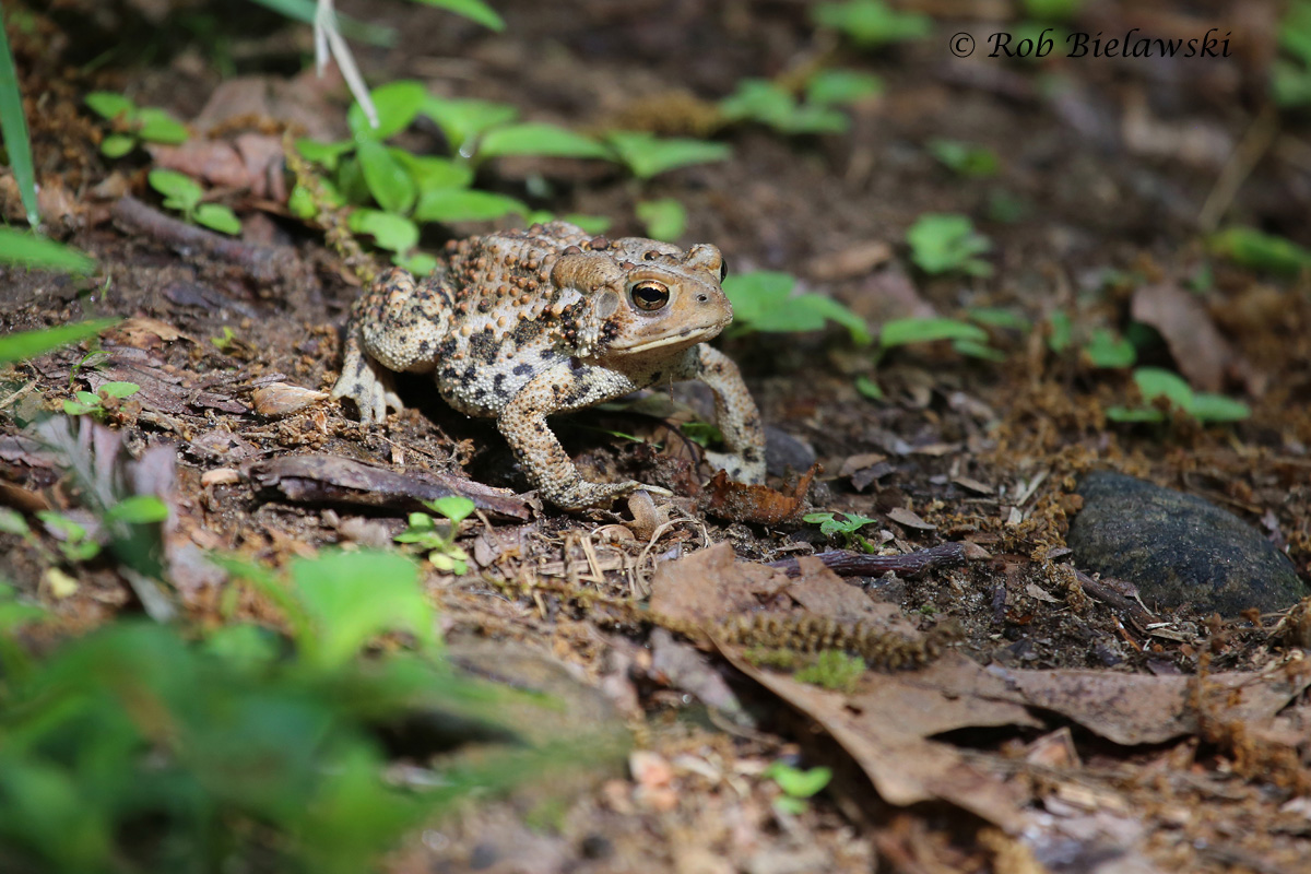 An American Toad that helped guide me along the trails of Bluff Point State Park!