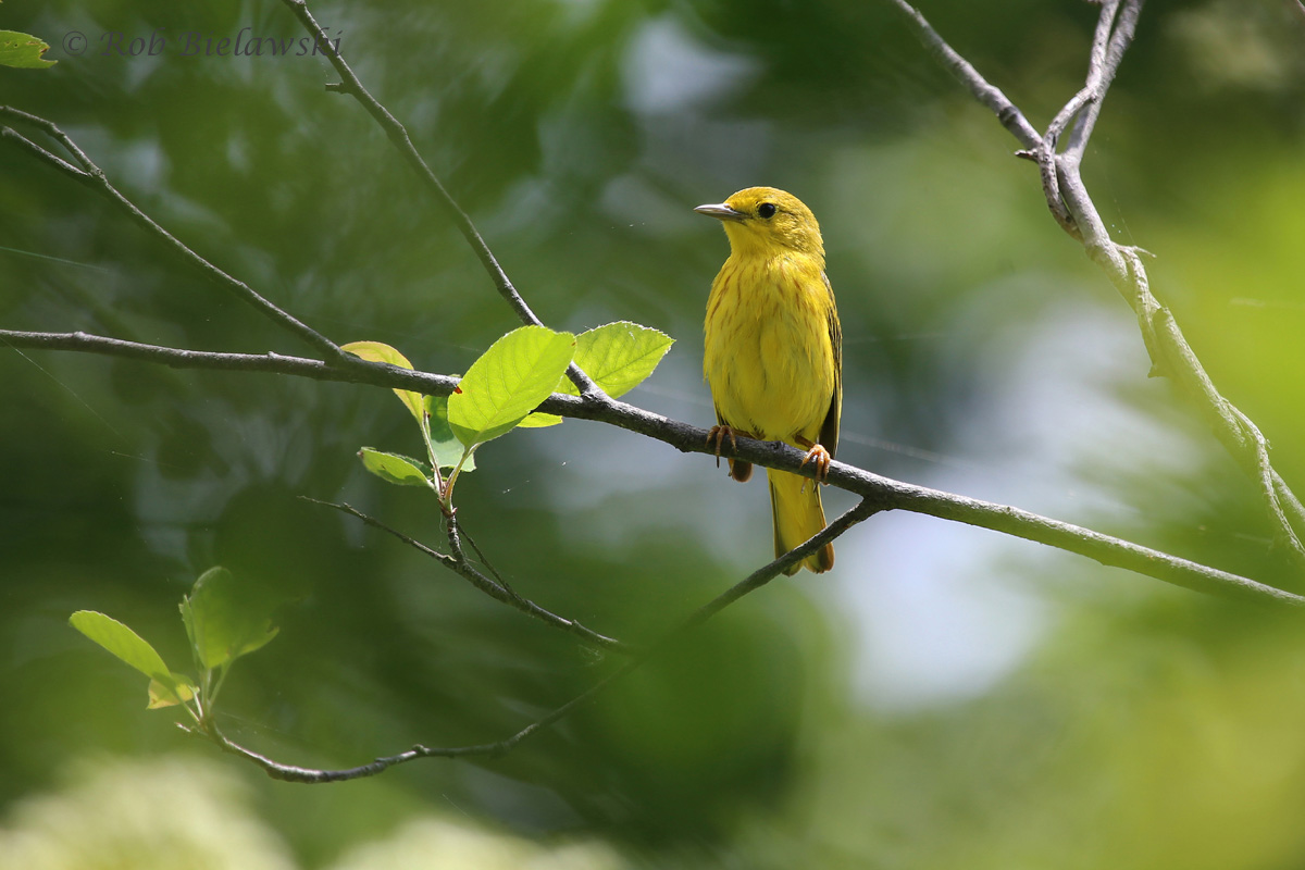Easily the most numerous warbler seen along my trip to New England, this is a Yellow Warbler, a very obvious choice for a name!