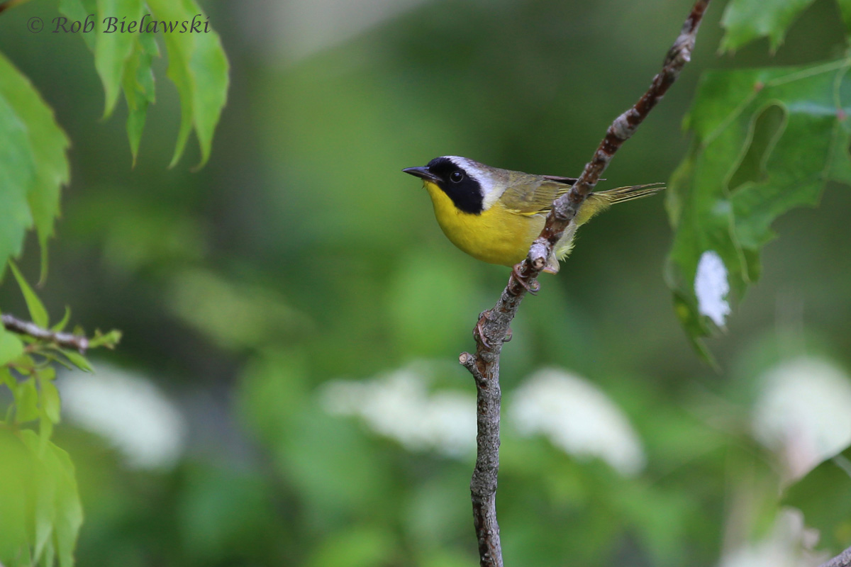 One of my favorite birds, this male Common Yellowthroat moved in from the foliage to check me out on two occasions at Barn Island WMA!