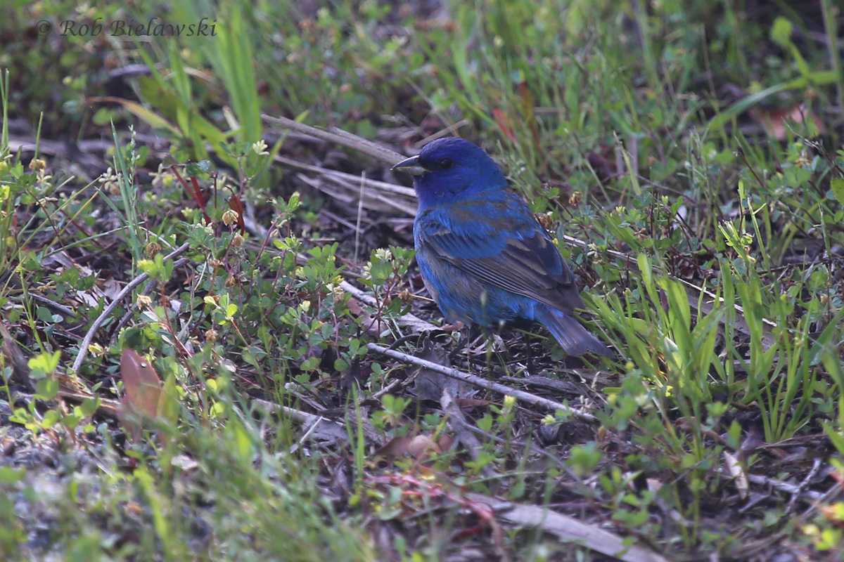 Indigo Bunting - First Spring Male - 14 May 2015 - Back Bay NWR, Virginia Beach, VA