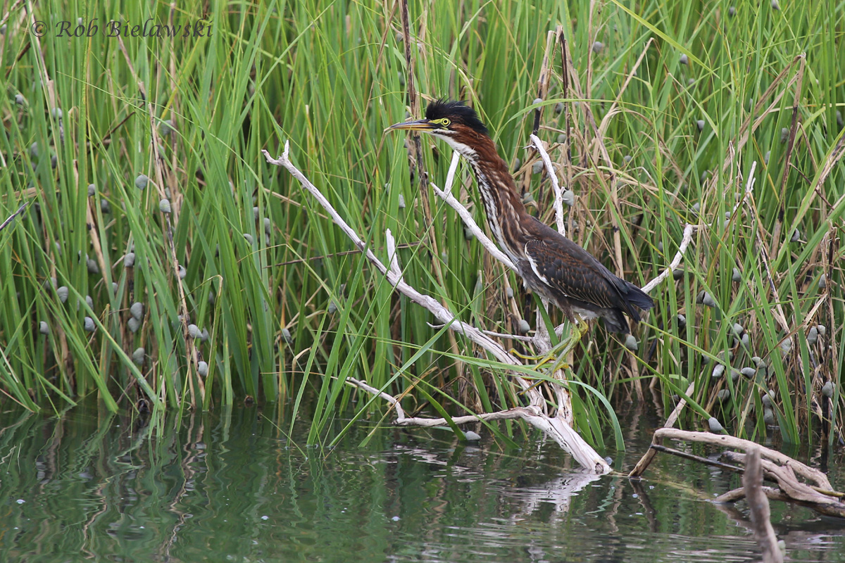 An immature Green Heron with crest raised, after accidentally flushing the bird from its hiding spot at Pleasure House Point!