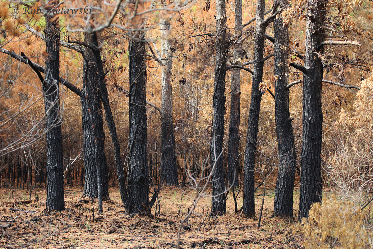 A portion of the recently burned area of Pleasure House Point. These were the unfortunate trees that were within the burn, but the foliage will come back, and grasses have already started growing up through the ash.