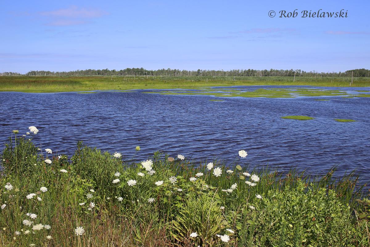 The impoundments of Mackay Island National Wildlife Refuge just across the border in North Carolina!