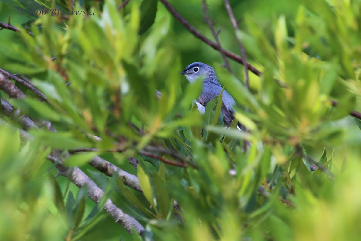 Blue-gray Gnatcatcher - Breeding Adult - 28 Jun 2015 - Princess Anne Wildlife Management Area (Whitehurst Tract), Virginia Beach, VA