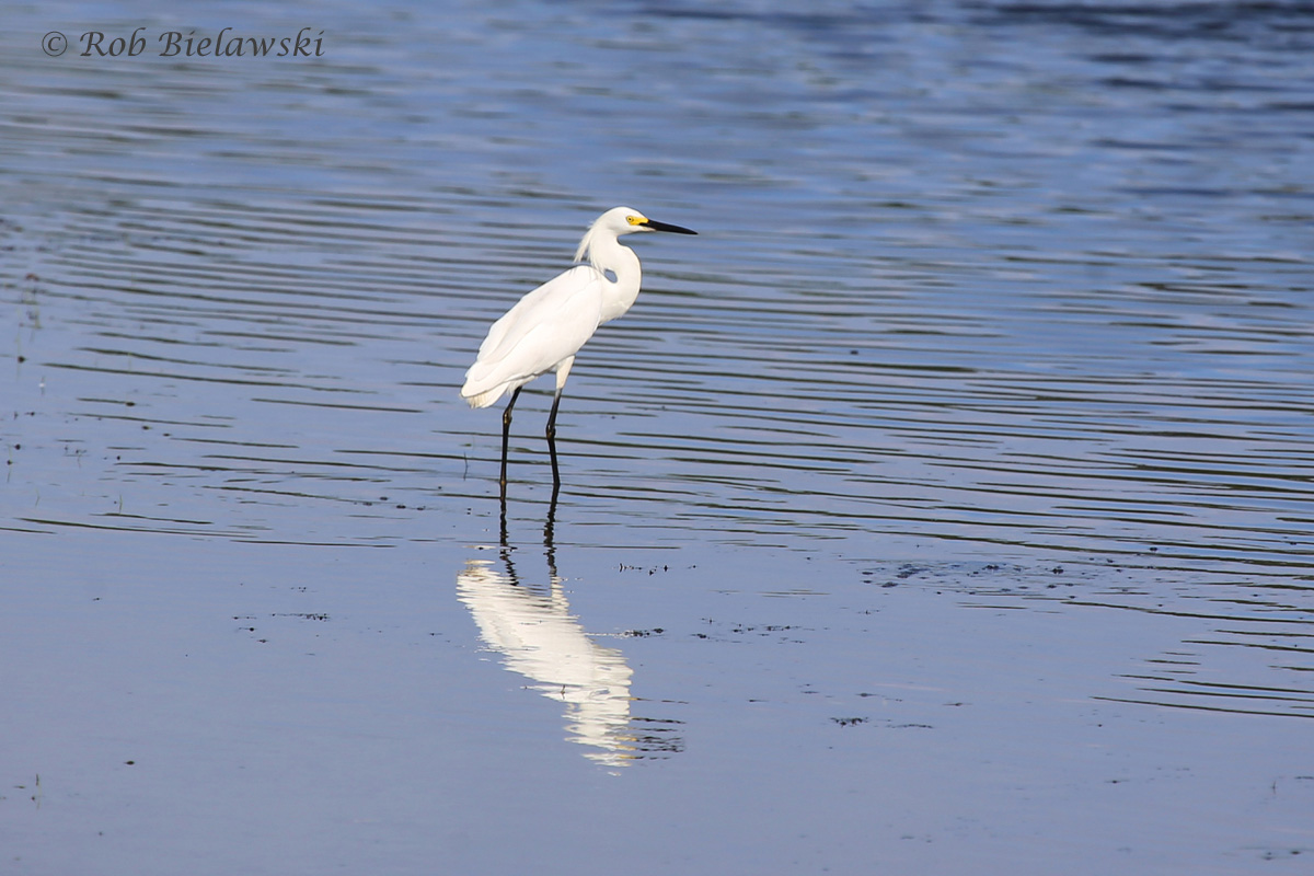 Snowy Egret - Breeding Adult - 28 Jun 2015 - Princess Anne Wildlife Management Area (Whitehurst Tract), Virginia Beach, VA