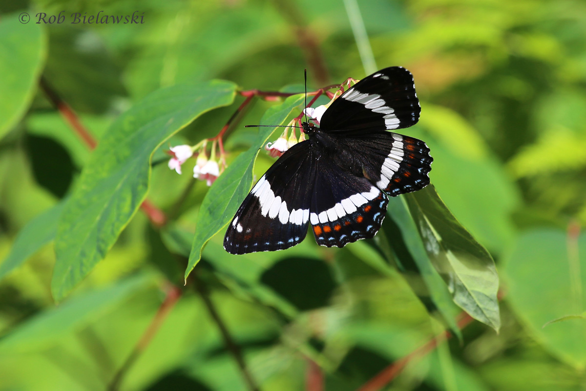 Not sure on the identity of this dapper butterfly, but whatever it is, it sure is pretty! Taken along the logging road I grew up off of.