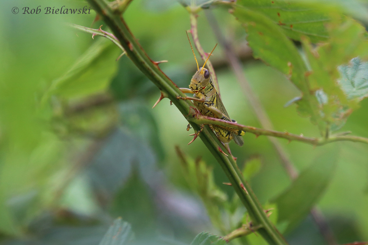 Obscure Birdwing Grasshoppers were all over the place at Princess Anne Wildlife Management Area upon our return to Virginia Beach on Sunday!